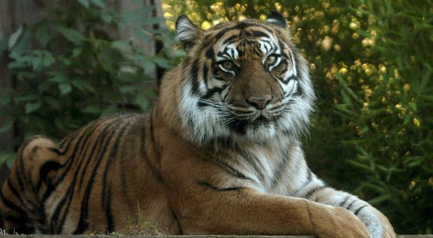 Sarah McClay was mauled to death by a tiger