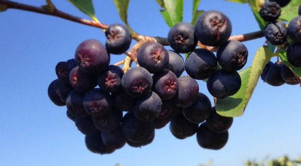 Chokeberries (Aronia melanocarpa) which scientists believe may strengthen the effectiveness of a chemotherapy drug commonly used to treat pancreatic cancer.