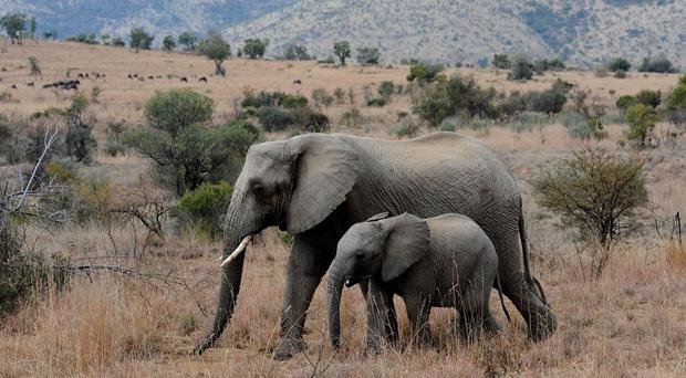 Examples cited in a WWF report of wildlife that is suffering serious population decline includes elephants in Africa