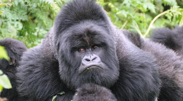 Mountain gorillas can be found at Virunga National Park in the Democratic Republic of Congo