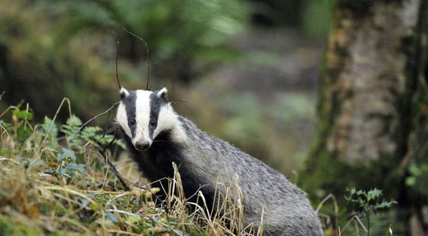 Support among vets for the badger cull policy appears to be faltering