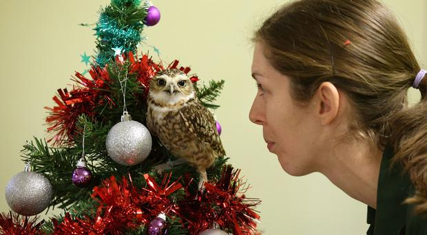 Blair Drummond Safari Park birds of prey keeper Laura Downie with Ant the young burrowing owl who likes nothing better than to perch in her Christmas Tree at her home near Stirling. (PA)