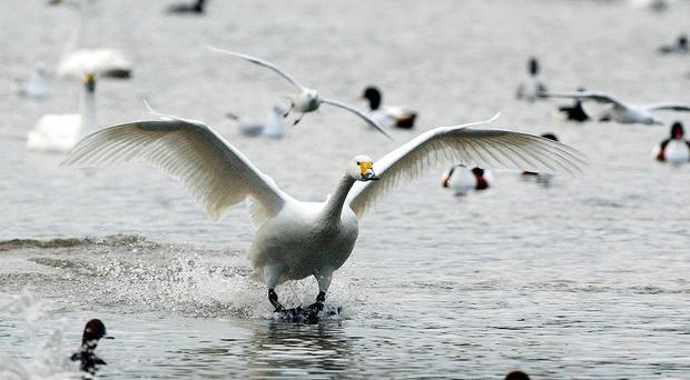 Dozens of Bewick's swans have flocked to Britain in a