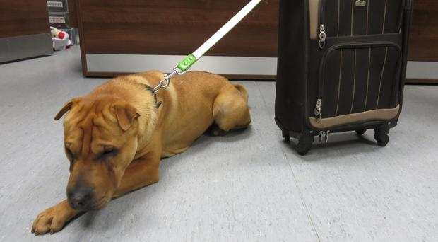 Kai was found abandoned at Ayr railway station with a suitcase of his belongings (Scottish SPCA/PA Wire)