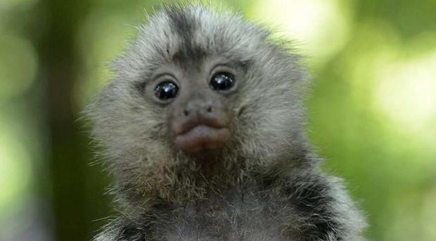 Two marmoset monkeys were stolen from a garden in Nairn (Police Scotland/PA Wire)