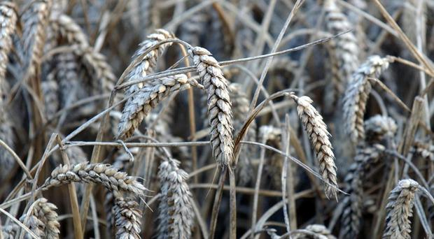 Coeliac disease prompts an autoimmune reaction to gluten, found in foods such as wheat (pictured), flour and bread.