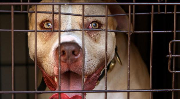 A pitbull seized during a raid on an address in south London as part of an operation targeting dangerous dogs