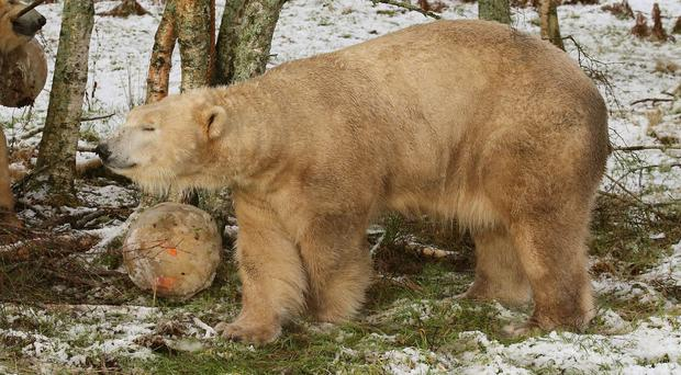 Arktos enjoys the snow at Highland Wildlife Park