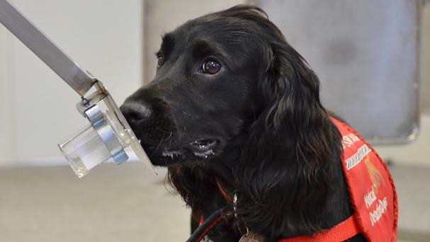 Cancer detection dog Jobi screens urine samples on a carousel at the Medical Detection Dogs centre in Great Horwood, Buckinghamshire (Medical Detection Dogs/PA Wire)