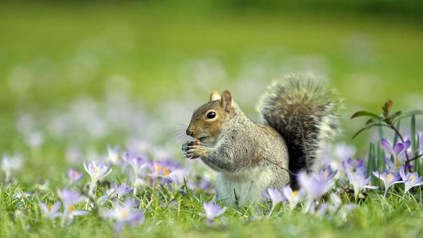 Grey squirrels host the bacteria responsible for Lyme disease, it has been discovered