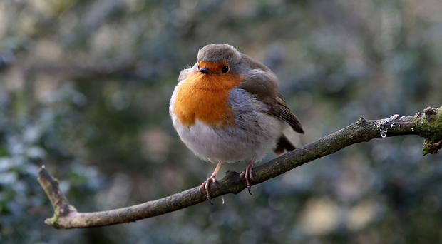 A nationwide ballot saw more than 200,000 people elect the robin as Britain's national bird