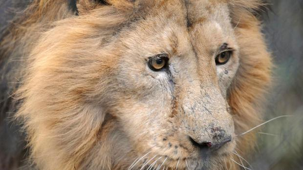 There are fears that the lion's cubs could now be vulnerable following the death of the father