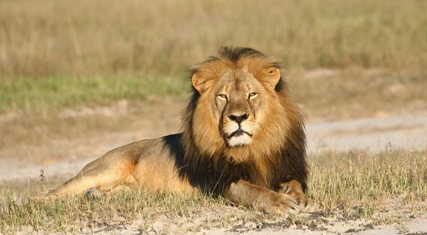 Cecil the lion was killed in Zimbabwe (Andy Loveridge/Wildlife Conservation Research Unit/AP)