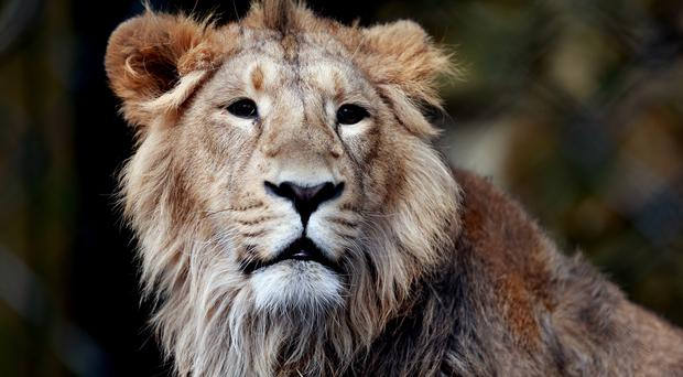 The killing of lions by hunters has caused outrage in Zimbabwe