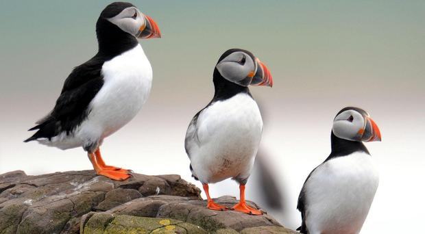 Puffins on the Farne Islands off the Northumberland coast