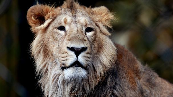 Jericho the lion has not been killed by poachers, it has been confirmed
