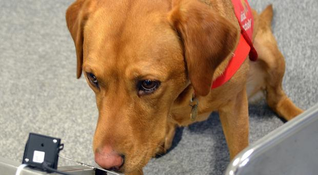 A dog named Daisy who is set to take part in a prostate cancer trial