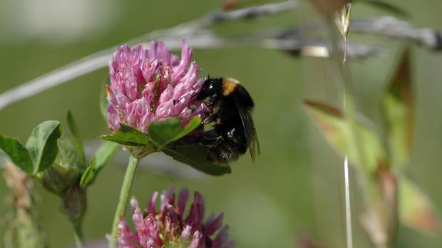 Short-haired bumblebees became extinct in the UK in 2000
