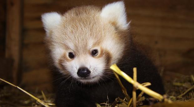 The yet unnamed red panda cub that has been born at the Wiltshire safari park (Longleat/PA)