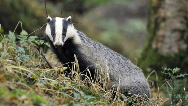 Natural England has granted a four-year licence for badger culling in Dorset