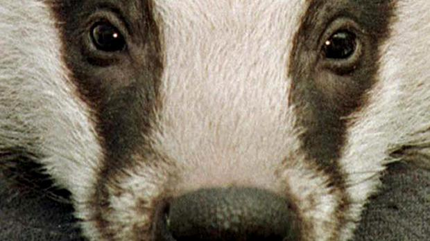 The controversial badger cull has cost the taxpayer 16.8 million pounds over the past few years, figures show