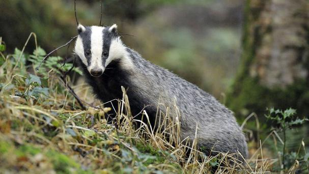 Badger culling is now under way in Dorset, Somerset and Gloucestershire, the Government said