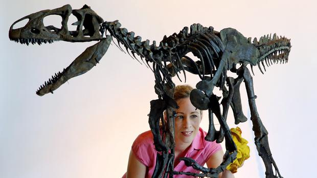 Lindsay Hoadley, of Summers Place Auctions in West Sussex, prepares a rare skeleton of a juvenile Allosaurus dinosaur for auction