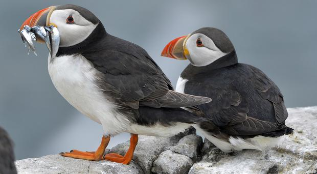 Puffins on the Farne Islands off Northumberland