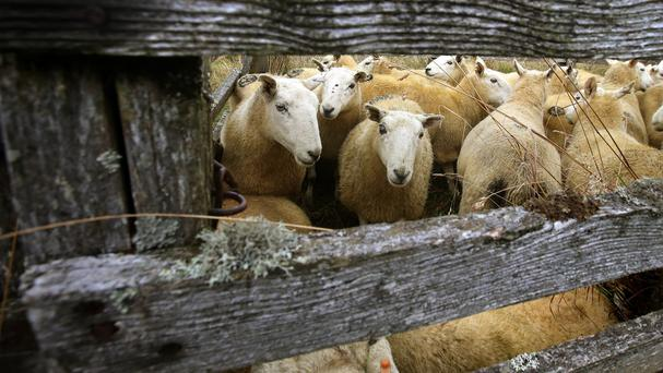 Farmers were asked to identify missing sheep in an identity parade, a court heard