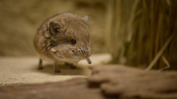 Sengis are sometimes referred to as round eared elephant-shrews