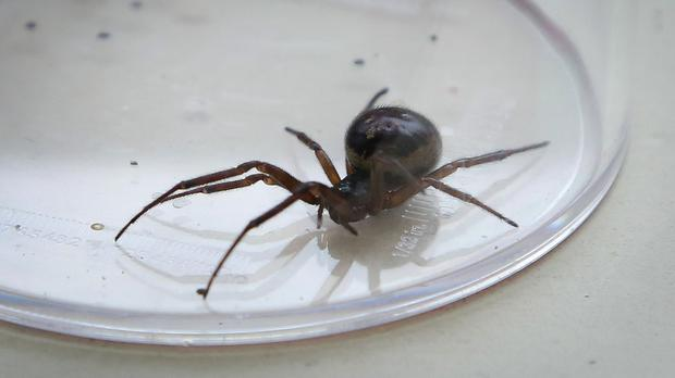 The false widow spider is not considered dangerous but does bite