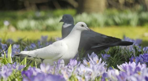 Pigeons can be taught to recognise images showing evidence of benign or malignant tissue, scientists say