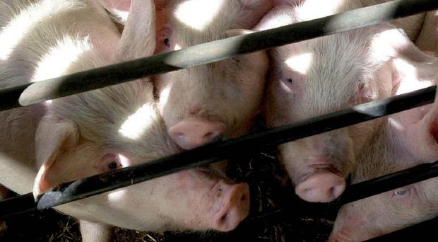 Researchers in China studying farmed pigs identified a gene that makes infectious bacteria highly resistant to polymyxins, the last group of antibiotics left after all others have failed