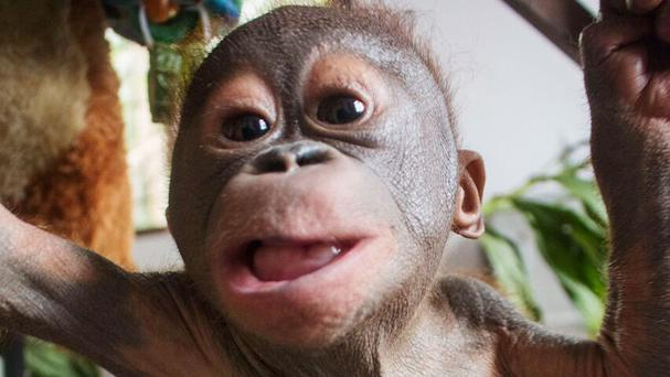 Baby orangutan Gito is showing strong signs of recovery (International Animal Rescue/PA)