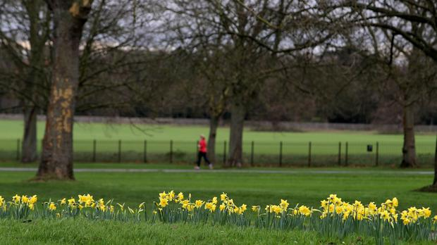 Daffodils in bloom in Windsor, Berkshire, as the unseasonably warm December weather is set to continue