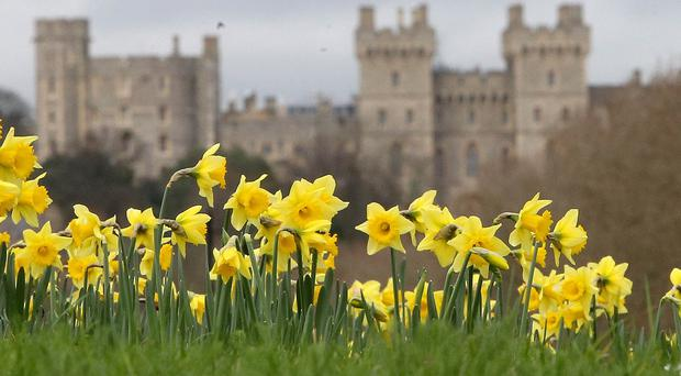 The unseasonably warm weather has seen daffodils bloom
