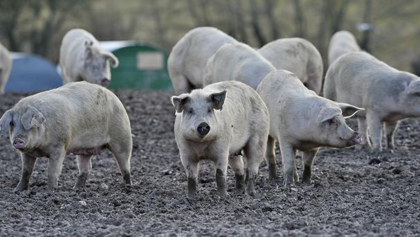The Soil Association said the mcr-1 was found in E.coli from two pig farms