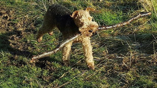 Leading vets are warning of the dangers of throwing sticks for dogs after an increase in reports of pets with injuries caused during games of fetch