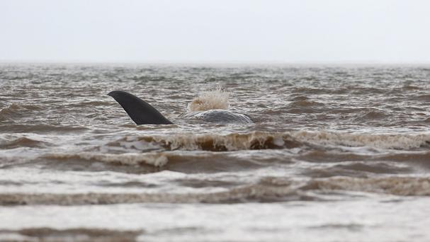 The sperm whale was covered in water as the tide came in at Hunstanton beach in Norfolk, but it was unable to move itself off the sand