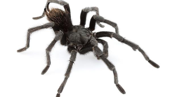 The new tarantula species Aphonopelma johnnycashi is named after the country music legend (Pensoft Publishers/PA)