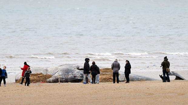 A group of people gather around the body of a sperm whale, which beached itself and then died on Hunstanton Beach in Norfolk