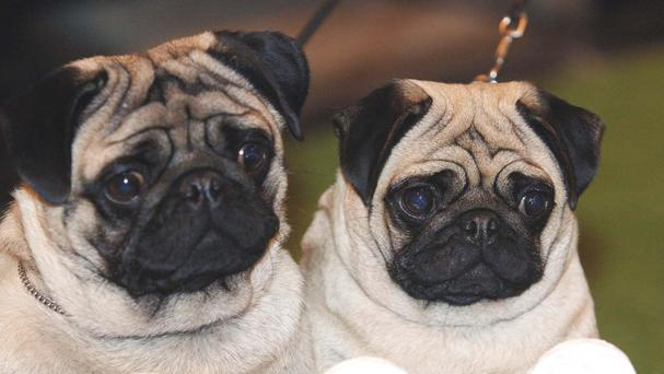 Demand for breeds such as pugs are fuelling puppy farms, warn the RSPCA
