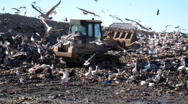 White storks scavenging on a landfill site (PA/University of East Anglia)