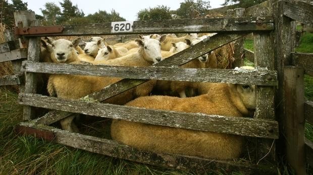 A number of sheep had to be put down after a livestock trailer was involved in a road crash in Herefordshire
