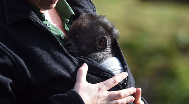 Bristol Zoo's baby gorilla Afia, born by emergency caesarian section, emerges outside for the first time with keeper Lynsey Bugg, assistant curator of mammals