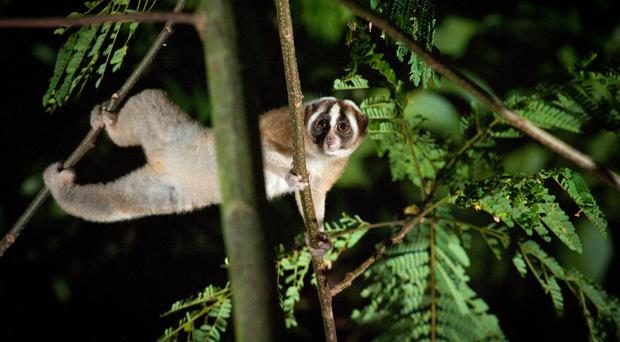 The charity has been working to protect slow lorises