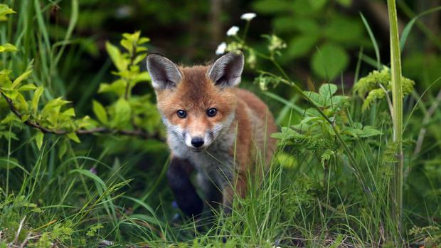 Hunting foxes with dogs has been banned for more than a decade