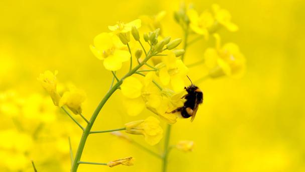 Bees' pollinating services are worth £600 million a year in boosting yields and the quality of seeds and fruits
