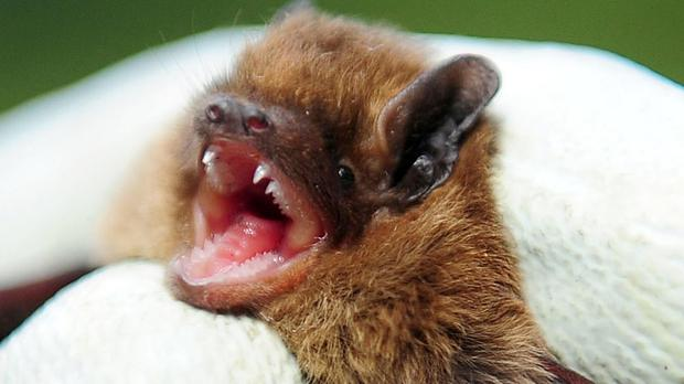 Luzon is also home to 57 species of bat