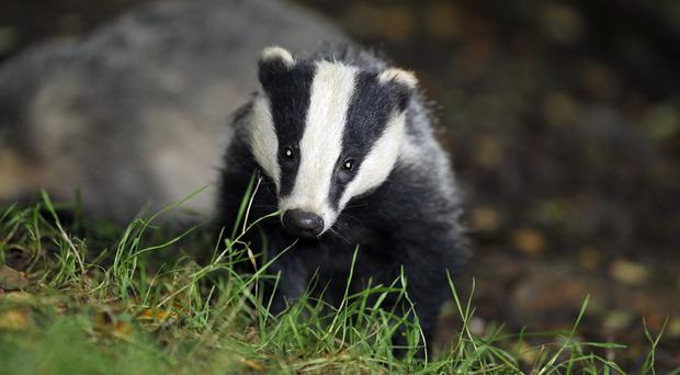 New research suggests bovine TB is not passed directly between badgers and cattle